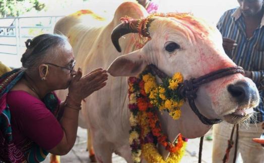 Covid-19: Nghị sĩ Ấn Độ khuyên uống nước tiểu bò; Thái Lan xem xét thả 50.000 tù nhân